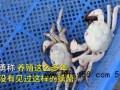 白色大闸蟹隔着壳能看到蟹黄怎么回事 专家回应说了什么