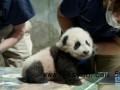 """旅美大熊猫幼崽获名""""小奇迹"""" 出生是一个真正的奇迹"""