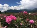 保加利亚玫瑰花今年减产或达四成